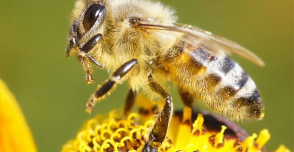 Nọc Ong – Dược Tính Và Độc Tính