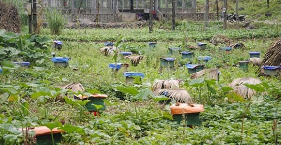 Chuyện Nuôi Ong Ở Hà Giang – Ong Nội Và Ong Ngoại
